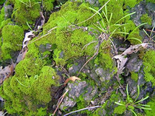 Miner's Lettuce and Moss